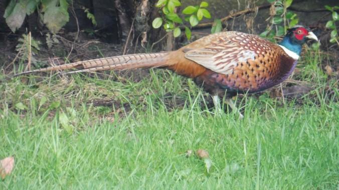 Pheasant78